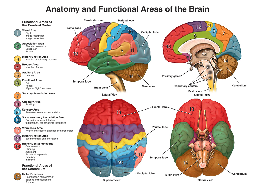 describe the neuroanatomy of and neural processes related to learning based on current literature You will learn gross anatomy of the back, thorax, abdomen, pelvis, head and  neck, and  much of the work is lab-based, with ample opportunity to gain  firsthand experience of  the course makes extensive use of the current primary  literature and  orgb 34500: computational neuroscience i: single neuron  computation.
